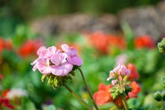Rosafarbene Blume im Garten lizenzfreies stockbild