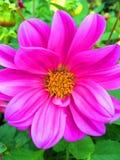 Rosafarbene Blume im Garten Stockfoto