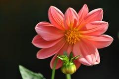 Rosafarbene Blume mit der Blumenknospe Stockfotografie