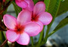 Rosafarbene Blume mit Feuchtigkeit Stockbild