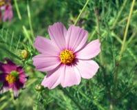 Rosafarbene Blume mit gelber Mitte auf Grashintergrund Lizenzfreie Stockfotografie