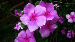 Rosafarbene Blume mit Wassertropfen Stockfotografie