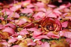 Rosafarbene Blume und Blumenblätter Stockfotografie
