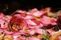Rosafarbene Blume und Blumenblätter Lizenzfreies Stockbild