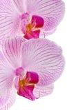Rosafarbene Blumen. Stockfotografie