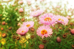 Rosafarbene Blumen Lizenzfreies Stockfoto