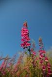 Rosafarbene Blumen auf blauem Himmel Stockfotos
