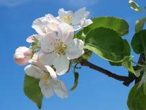 Rosafarbene Blumen auf einem Zweig des Apfels Stockfoto