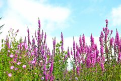 Rosafarbene Blumen auf Hintergrund des blauen Himmels Lizenzfreies Stockbild