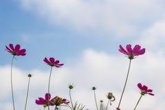 Rosafarbene Blumen auf Hintergrund des blauen Himmels Lizenzfreie Stockfotografie