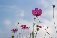 Rosafarbene Blumen auf Hintergrund des blauen Himmels Stockfoto