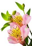 Rosafarbene Blumen auf Weiß Stockfotografie