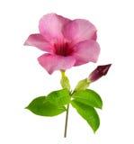 Rosafarbene Blumen auf weißem Hintergrund Lizenzfreies Stockfoto