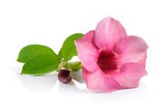 Rosafarbene Blumen auf weißem Hintergrund Stockbilder