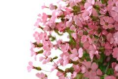 Rosafarbene Blumen auf weißem Hintergrund Lizenzfreie Stockfotografie