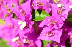 Rosafarbene Blumen (Bouganvilla) Stockbilder