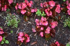 Rosafarbene Blumen in der Blüte Stockfotos