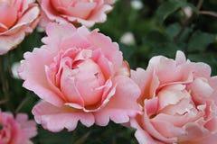 Rosafarbene Blumen in der Blüte Lizenzfreies Stockfoto