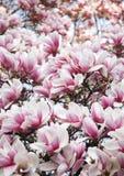Rosafarbene Blumen der Magnolie Stockbild