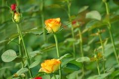 Rosafarbene Blumen der Orange stockbilder