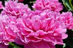Rosafarbene Blumen der Pfingstrose Lizenzfreie Stockfotos