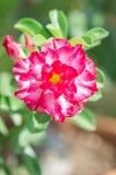 Rosafarbene Blumen der Wüste Stockfotografie