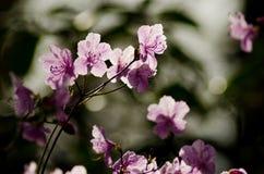 Rosafarbene Blumen des Frühlinges Blühender Baum Hintergrund Lizenzfreies Stockfoto