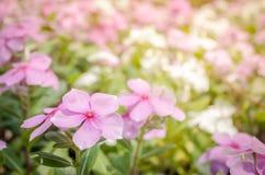 Rosafarbene Blumen des Hintergrundes Stockfotos