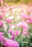 Rosafarbene Blumen des Hintergrundes Stockbilder