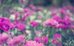 Rosafarbene Blumen des Hintergrundes Lizenzfreies Stockbild
