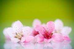 Rosafarbene Blumen des Pfirsiches Stockfotos