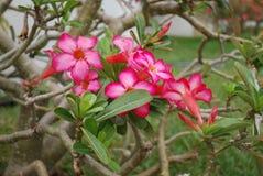 Rosafarbene Blumen des rosa Nachtischs Lizenzfreies Stockbild