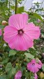 rosafarbene Blumen im Garten stockbild