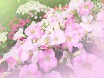 rosafarbene Blumen im Garten Lizenzfreie Stockbilder