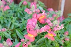 rosafarbene Blumen im Garten Lizenzfreie Stockfotos
