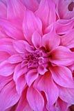 Rosafarbene Blumen im Garten Lizenzfreies Stockbild