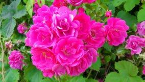 Rosafarbene Blumen im Garten Stockfoto