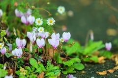 Rosafarbene Blumen im Garten Frühling oder Sommer Stockbilder