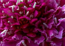 Rosafarbene Blumen Makro Stockfotos