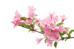 Rosafarbene Blumen mit frischen grünen Blättern Stockfoto