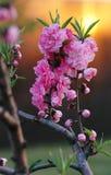 Rosafarbene Blumen u. Sonnenuntergang 1 Stockfotografie