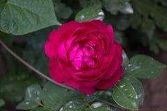 rosafarbene Blumen- und Gartenvegetation des Gartens stockbild