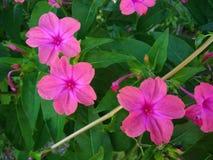 Rosafarbene Blumen und Grünblätter Lizenzfreie Stockfotos
