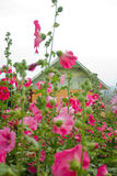 Rosafarbene Blumen und Knospen. Stockfotografie