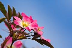 Rosafarbene Blumen von einem wilden stiegen stockfoto