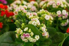 Rosafarbene Blumen von Kalanchoe lizenzfreie stockbilder