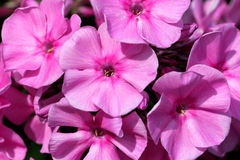 Rosafarbene Blumen von Phlox paniculata Lizenzfreie Stockbilder