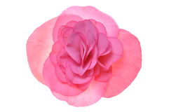 Rosafarbene Blumenbegonie Stockfotos