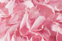 Rosafarbene Blumenblätter Stockfotos