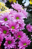 Rosafarbene Blumenblätter und grüne Mitte der Blumen Stockfotos